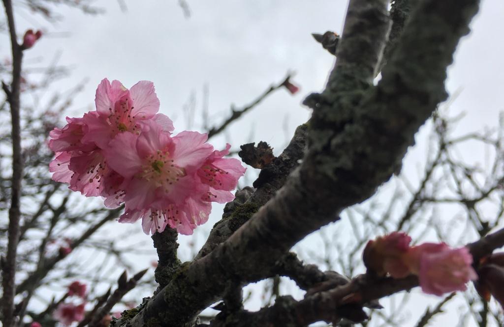 2018 Sakura in Wahiawa